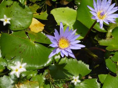 花, 巴厘岛, 水盆