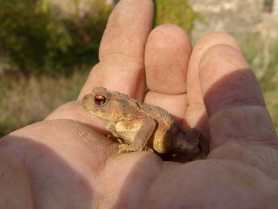 蟾蜍, sapito, batrachian, 手, 育种, 中华大蟾蜍, 粗糙的皮肤