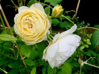 上升, 黄色, 白色, 花, 自然, 花园里的玫瑰