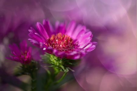 herbstaster, 粉色, 紫苑, 复合材料, 开花, 绽放, 秋天