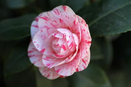 茶花, 花, 粉色, 自然, 植物, 叶, 粉红色的颜色