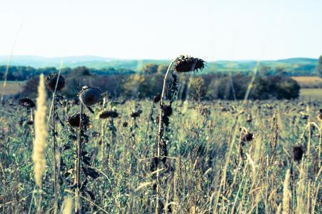 太阳花, 自然, 花, 景观, 褪色, vinatge 风格, 字段