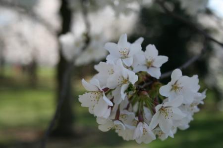 樱花, 华盛顿特区, 潮汐盆地