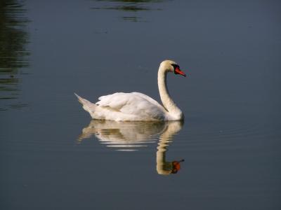 白色的天鹅, 水鸟, 水表面, 反思