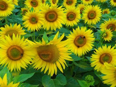 太阳花, 夏季, 蜜蜂, 胡梅尔, 向日葵田, 授粉, 蜂蜜