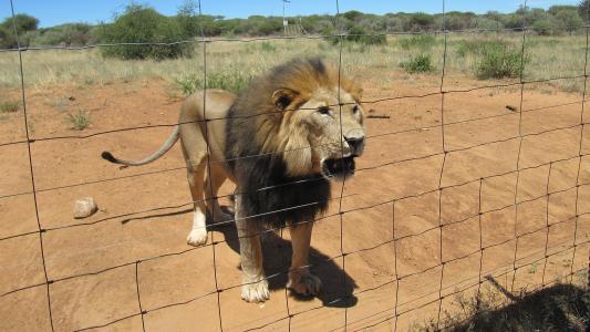 纳米比亚, 狮子, 野生动物园, 野生动物, 动物, 非洲, 猫