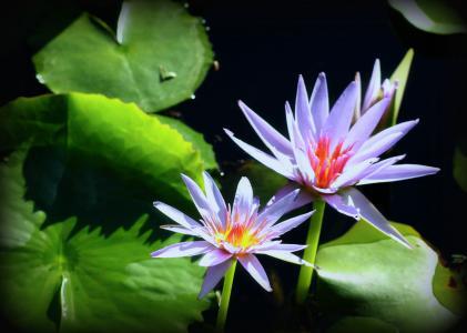 睡莲, 花, 花园, 水, 池塘, 绽放, 粉色