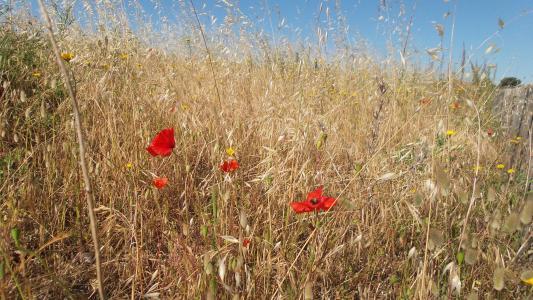罂粟, 草药, 疯了, 夏季, 字段, 干, 草