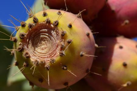仙人掌, 水果, 仙人掌, 仙人掌果, 仙人掌温室, 毒刺, 多刺
