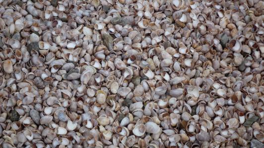 贻贝, 贝壳, 海滩