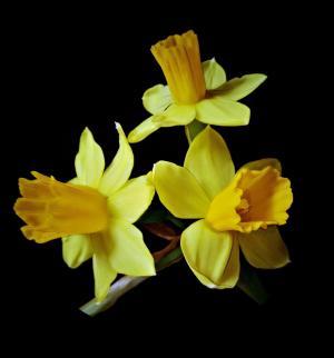 osterglocken, 水仙花, 春天的花朵, 外层花瓣浅黄色, 里面暗钟花, 黑暗的背景, 关闭