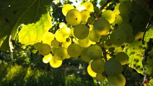 秋天, 葡萄, 户外, 葡萄园, 葡萄酒, 酿酒葡萄, 绿色的颜色