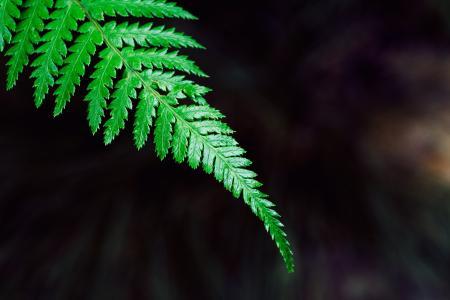 蕨类植物, 刹车, 植物, 绿色, 叶, 自然, 花园