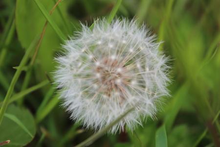 蒲公英, 白色, 花园, 春天, 夏季, 自然