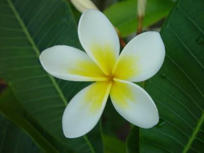 花, 开花, 绽放, 鸡蛋花, 花瓣, 白色, 黄色