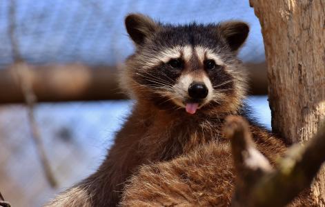 浣熊, 野生动物, 毛茸茸, 哺乳动物, 甜, 自然, 森林动物