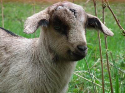 山羊, 羔羊, 牧场, 动物, 可爱, 草, 快乐