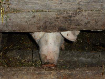 猪圈, 猪圈, 猪, 农场, 猪鼻子, 鼻子, 粗径