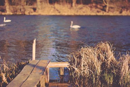 鸭子, 湖, 自然, 匝道, 芦苇, 河, 水