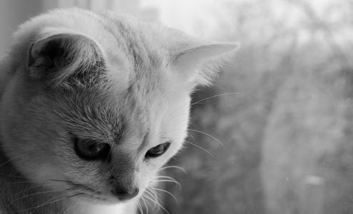 黑色和白色, 猫, 动物