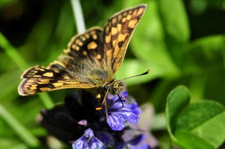 蝴蝶, 蝴蝶, 昆虫, 花, 蓝色, 饮料, 花蜜