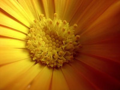 黄色, 万寿菊, 春天, 花