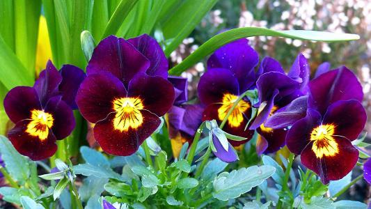 三色堇, 花, 开花, 绽放, 紫罗兰类, 春天, 紫罗兰色