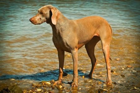 狗, 威马, 动物, 宠物, 动物的画像, 猎狗, 生活的乐趣