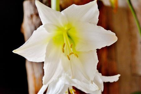剑百合, 花, 植物, 绽放