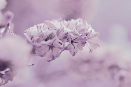 紫罗兰色, 花, 宏观, 紫色, 花园, 淡粉色, 自然