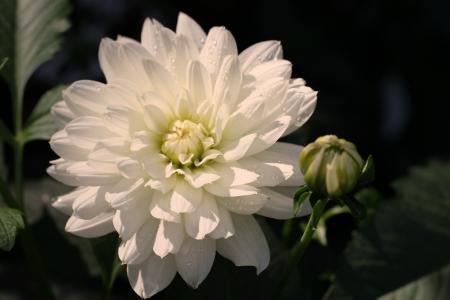 大丽花, 白色, 开花, 绽放, 花, 大丽花花园, 花卉园