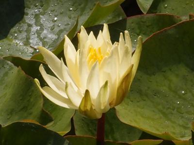 水百合, 百合, 池塘, 水, 自然, 植物, 花