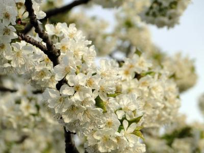 樱花, 花, 樱桃, 春天, 白色, 树, 粉色