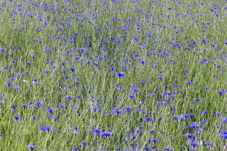 矢车菊, 花, 田野里的野兽, 草甸, 蓝色, 自然, 村庄