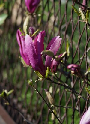 木兰, 花, 玉兰花, 春天, 蓬勃发展, 紫罗兰色, 粉色