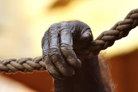 手, 猴子, 大猩猩, 动物世界, 动物, 野生动物摄影, 灵长类动物