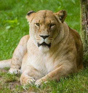 狮子, 捕食者, 休息, 自然公园, 女性, 动物园, 野生动物