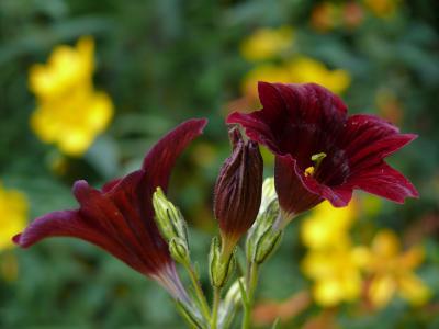salpiglossis, 暗红色, 花, 夏季, 年度, 花瓣, 植物区系