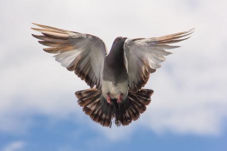 鸽子, 飞行, 树枝, 飞行, 展开翅膀, 鸟, 一种动物