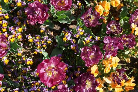 牡丹, 粉色, 花, 开花, 绽放, 春天, 上升