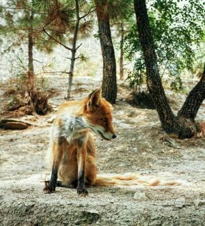 狐狸, 森林, 视图, 观看, 有趣, 动物, 肖像