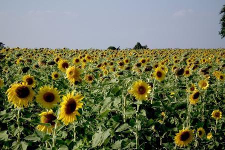 向日葵, 字段, 黄色, 花, 绽放, 开花, 花瓣