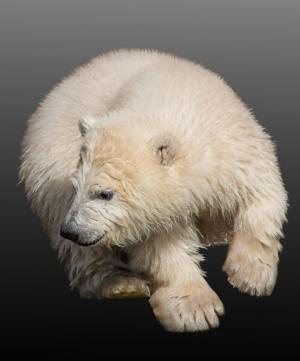 北极熊, 年轻的动物, 北极熊幼崽, 纽伦堡, 蒂尔加滕, 动物园, 春天