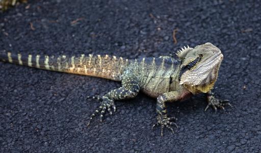 澳大利亚水龙, 爬行动物, 野生动物, 蜥蜴, 鬣蜥, intellagama lesueurii, 野生