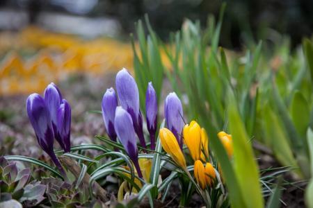 花, 番红花, 春天, 绿党, 紫色, 蓝色, 黄色