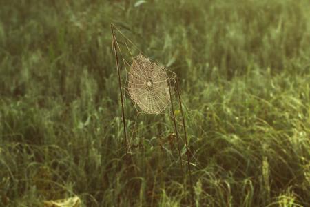 蜘蛛网, 网络, 自旋, 自然, 自然保育, 芦苇, 早晨的太阳