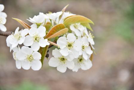梨花, 果园, 白色, 白色的花, 植物区系, 春天