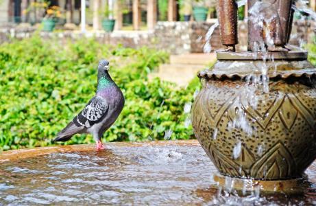 鸽子, 水, 渴了, 鸟, 喷泉, 宫, 斯里兰卡