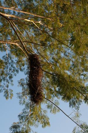 鸟巢, 鸟巢, 自然, 树, 挂, 野生动物, 鸟类学
