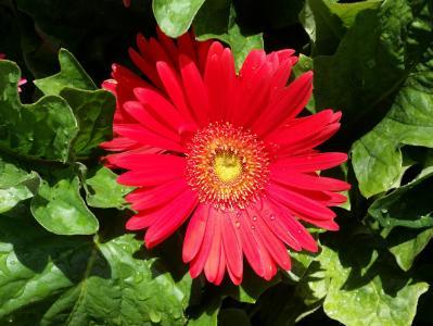 戈贝尔, 黛西, 红色, 露水, 春天, 绽放, 颜色